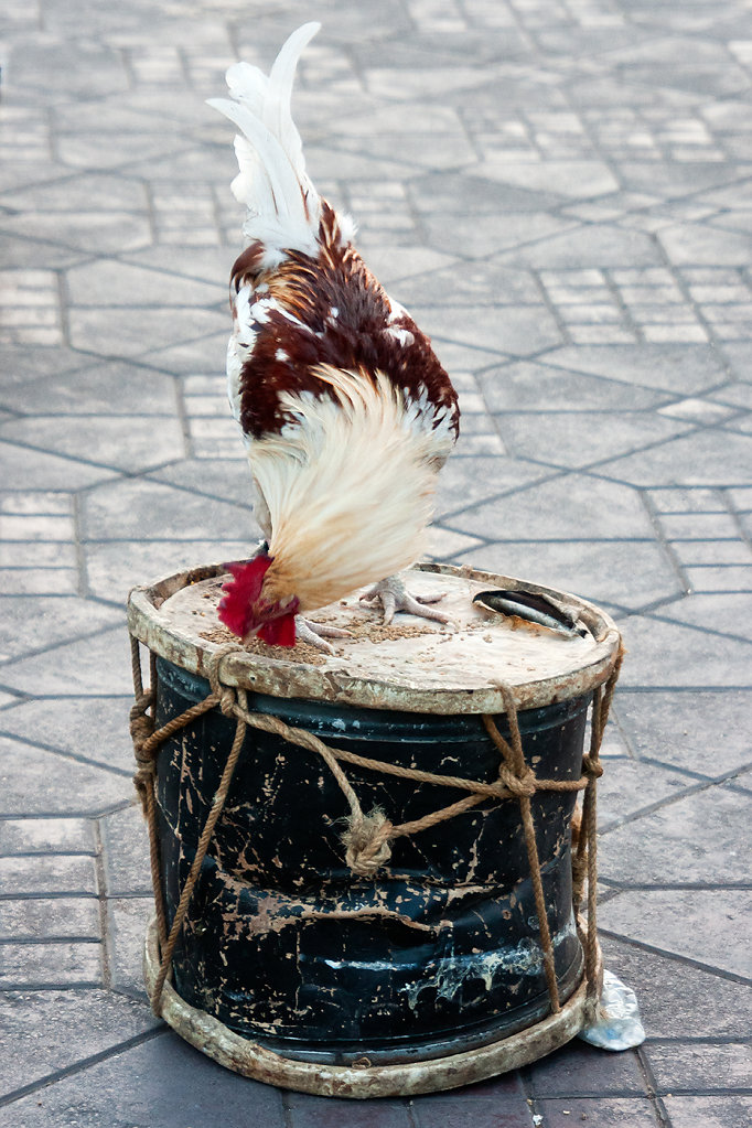 Le coq tambour