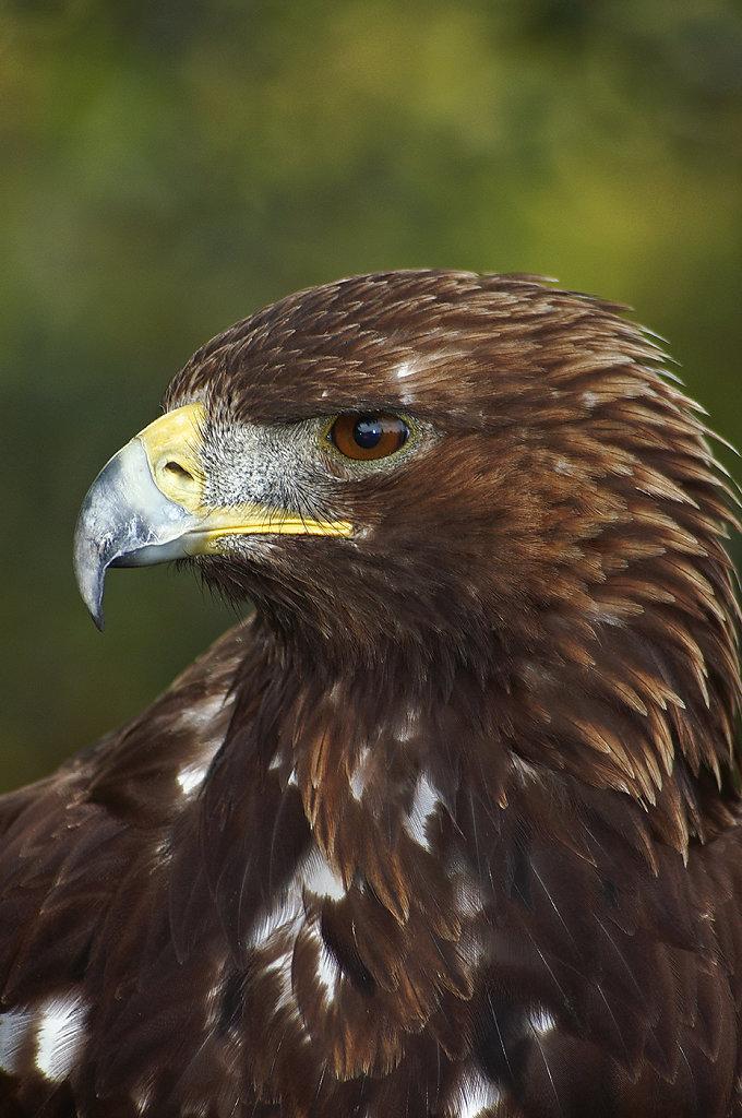 Royal, l'Aigle...
